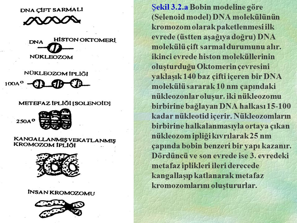 Şekil 3.2.a Bobin modeline göre (Selenoid model) DNA molekülünün kromozom olarak paketlenmesi ilk evrede (üstten aşağıya doğru) DNA molekülü çift sarmal durumunu alır.