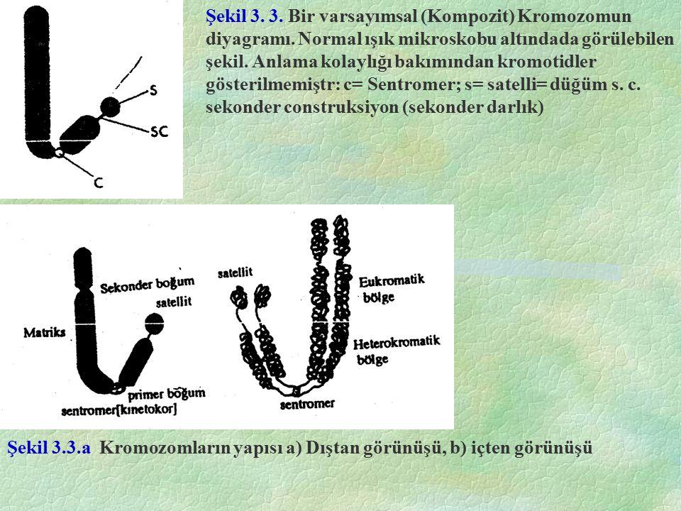 Şekil 3. 3. Bir varsayımsal (Kompozit) Kromozomun diyagramı