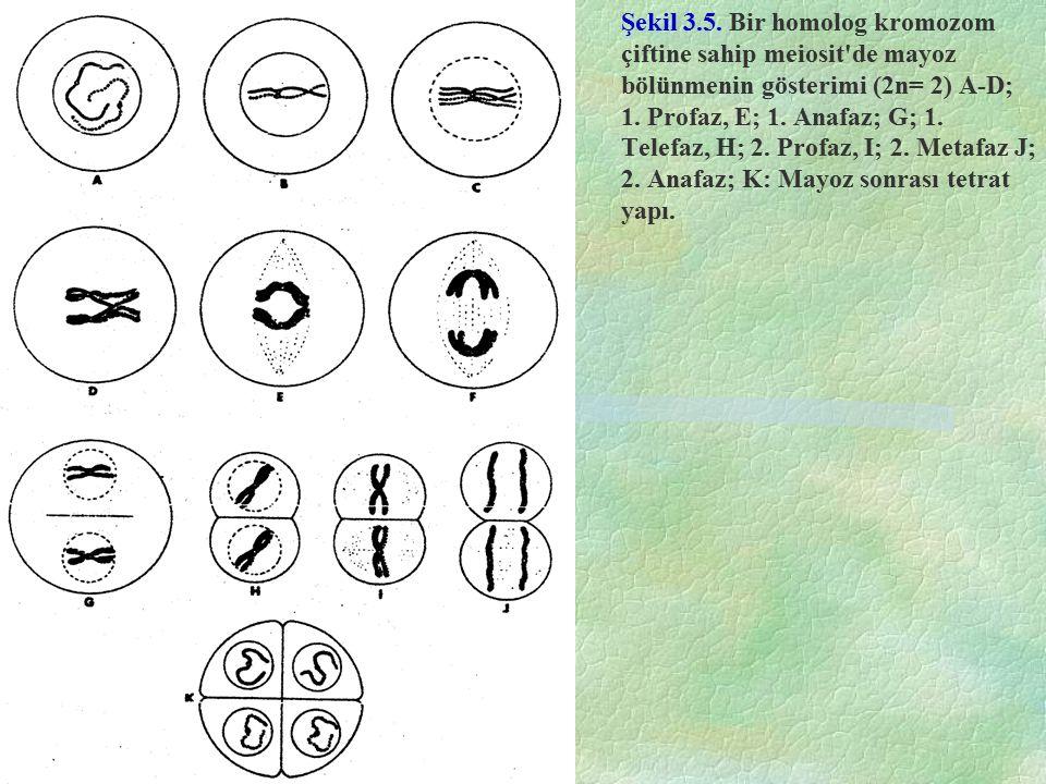 Şekil 3.5. Bir homolog kromozom çiftine sahip meiosit de mayoz bölünmenin gösterimi (2n= 2) A-D; 1.