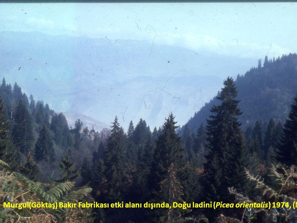 Murgul(Göktaş) Bakır Fabrikası etki alanı dışında, Doğu ladini (Picea orientalis) 1974, (N.ORUÇ)