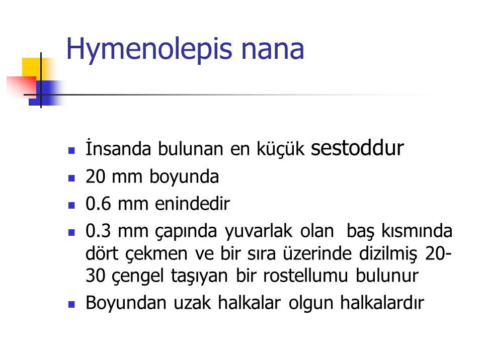 Hymenolepis nana İnsanda bulunan en küçük sestoddur 20 mm boyunda