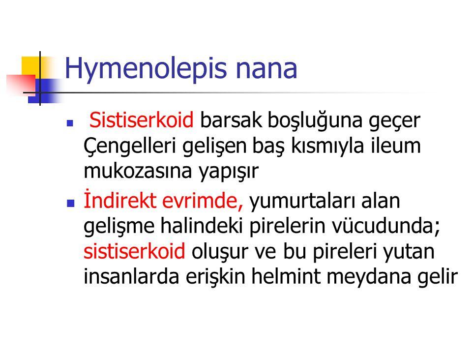 Hymenolepis nana Sistiserkoid barsak boşluğuna geçer Çengelleri gelişen baş kısmıyla ileum mukozasına yapışır.