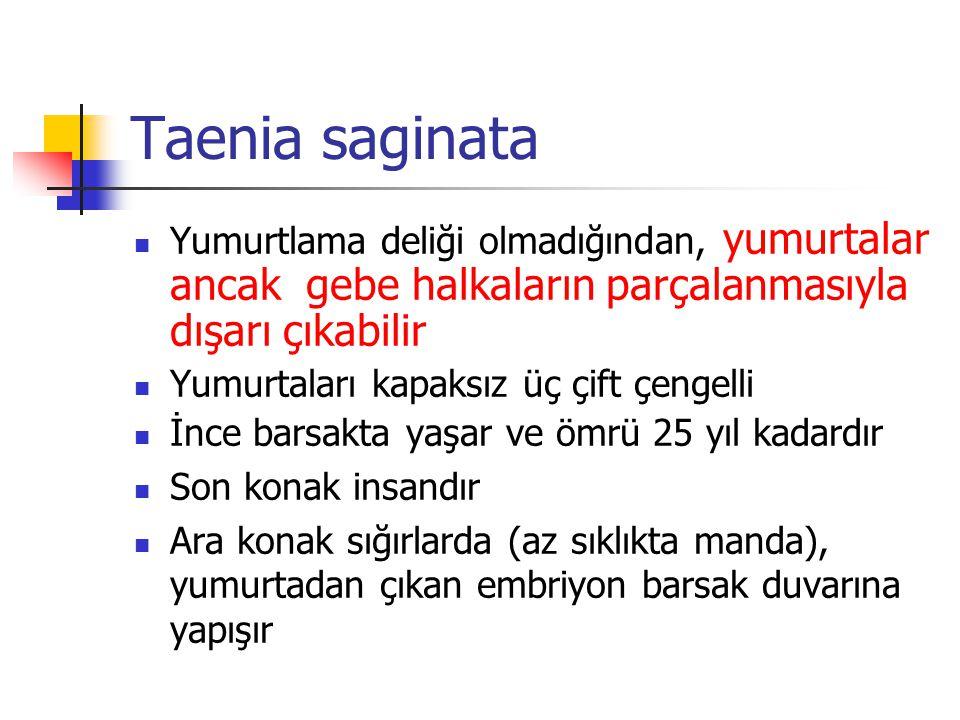 Taenia saginata Yumurtlama deliği olmadığından, yumurtalar ancak gebe halkaların parçalanmasıyla dışarı çıkabilir.