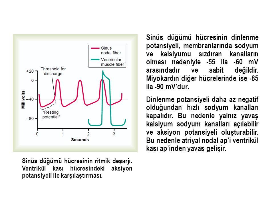 Sinüs düğümü hücresinin dinlenme potansiyeli, membranlarında sodyum ve kalsiyumu sızdıran kanalların olması nedeniyle -55 ila -60 mV arasındadır ve sabit değildir. Miyokardın diğer hücrelerinde ise -85 ila -90 mV'dur.