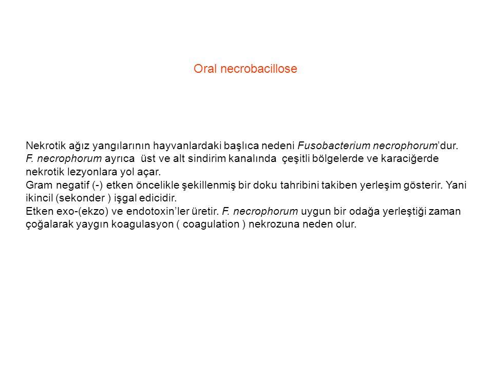 Oral necrobacillose