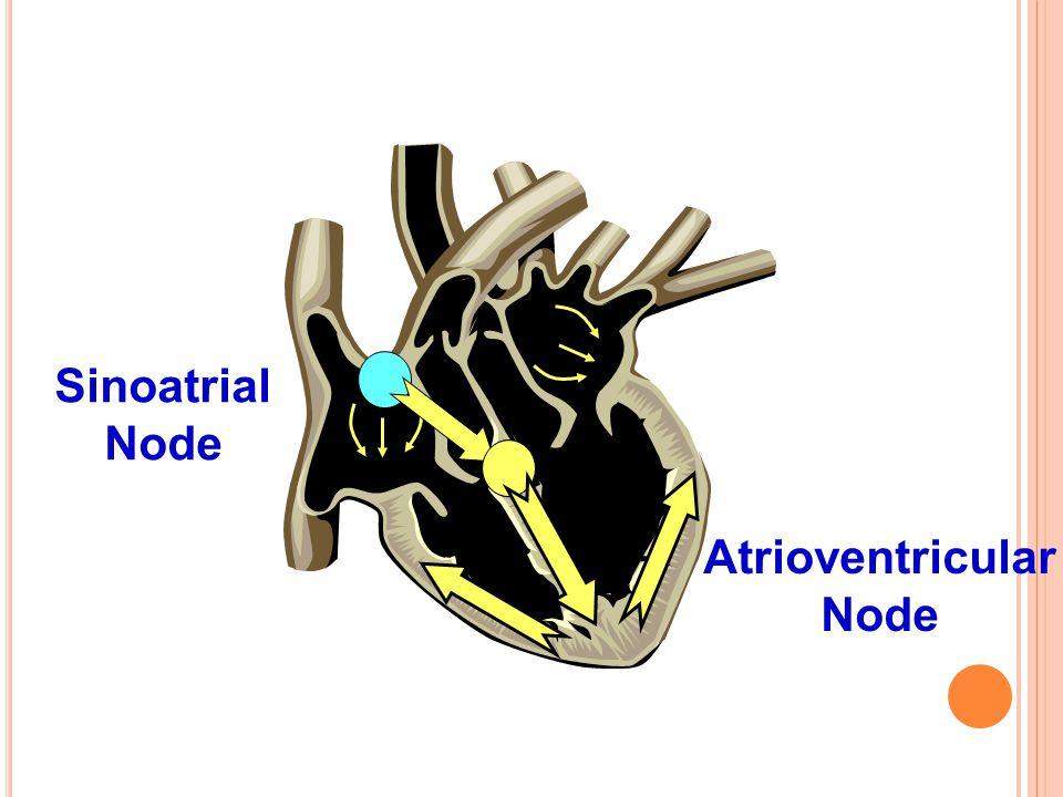 Atrioventricular Node