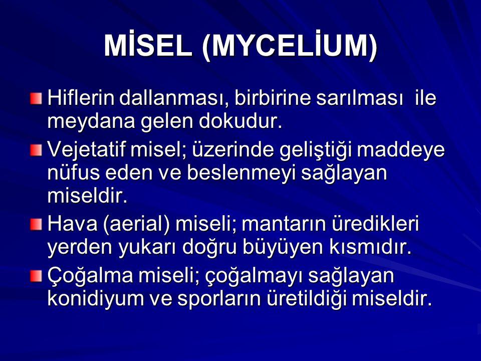 MİSEL (MYCELİUM) Hiflerin dallanması, birbirine sarılması ile meydana gelen dokudur.