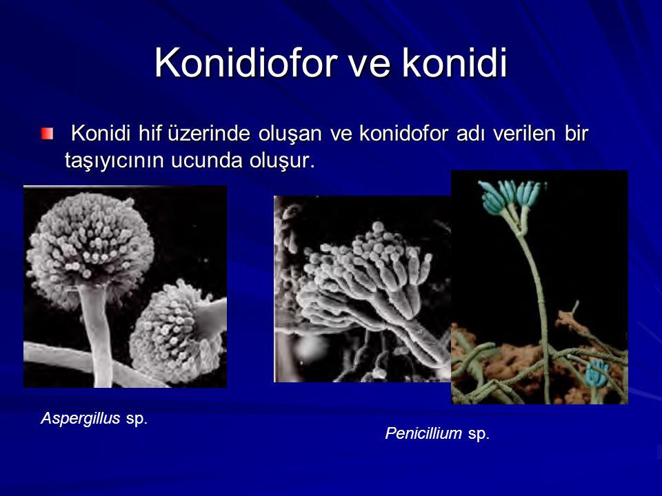 Konidiofor ve konidi Konidi hif üzerinde oluşan ve konidofor adı verilen bir taşıyıcının ucunda oluşur.