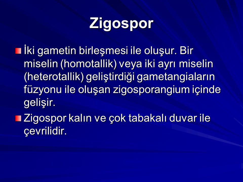 Zigospor