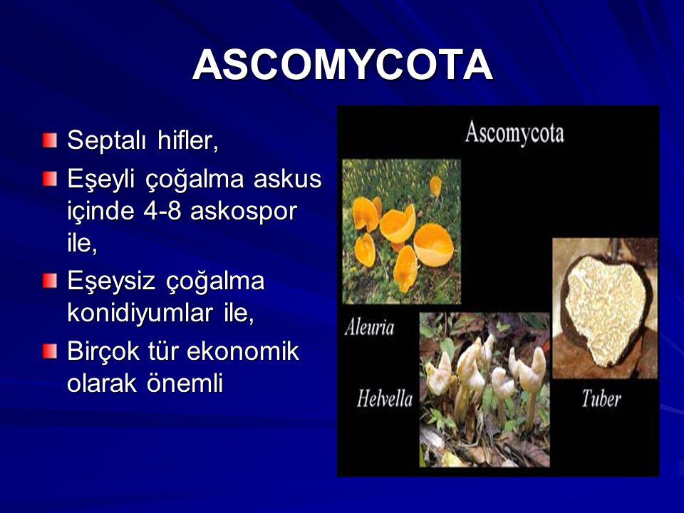 ASCOMYCOTA Septalı hifler,