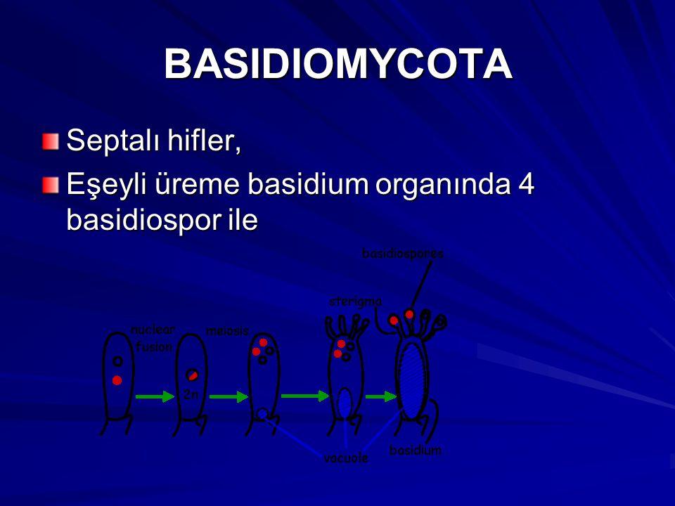 BASIDIOMYCOTA Septalı hifler,