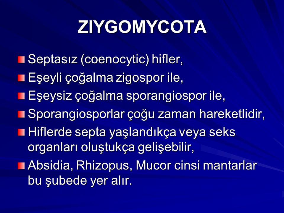 ZIYGOMYCOTA Septasız (coenocytic) hifler, Eşeyli çoğalma zigospor ile,