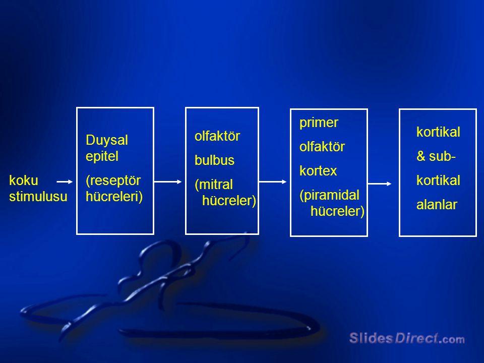 primer olfaktör. kortex. (piramidal. hücreler) kortikal. & sub- alanlar. olfaktör. bulbus. (mitral.
