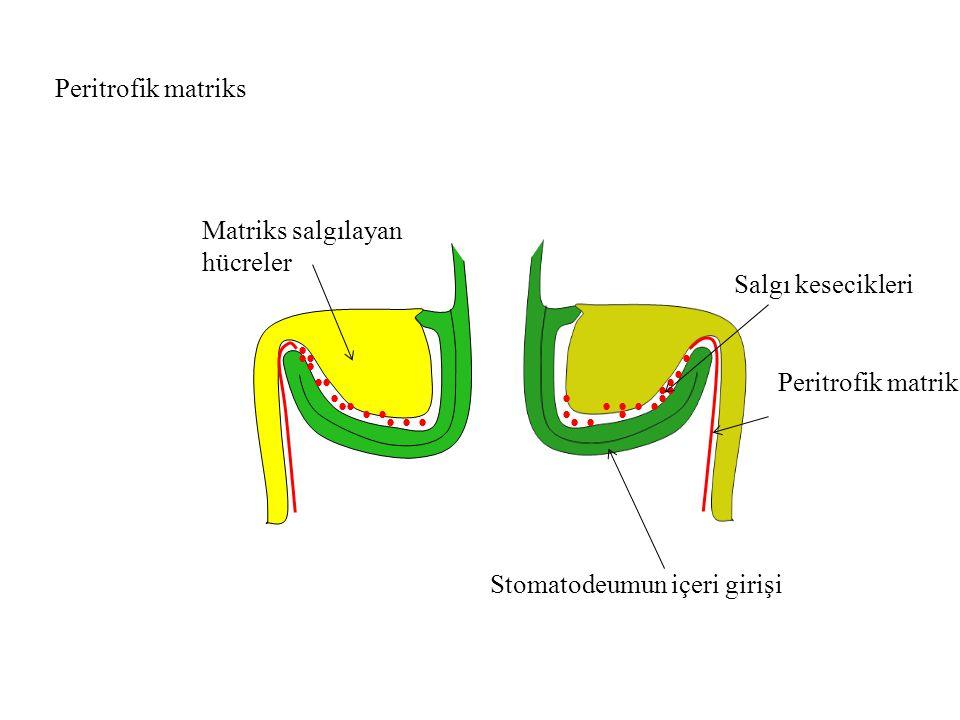 Peritrofik matriks Matriks salgılayan hücreler. Salgı kesecikleri. • • • • • • • • • Peritrofik matriks.