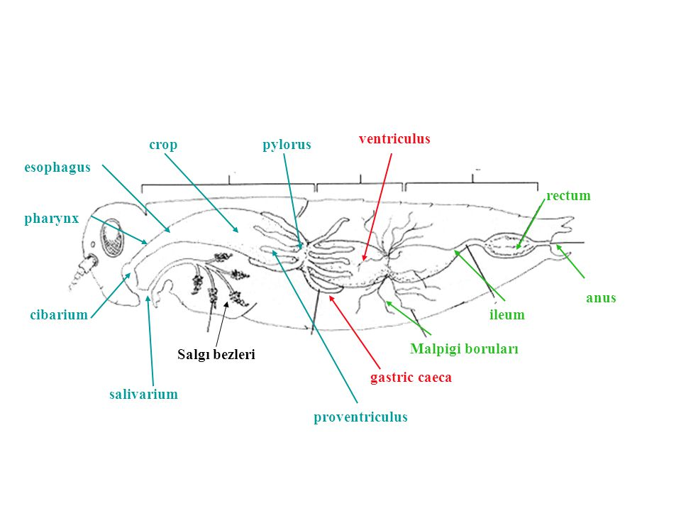 ventriculus crop. pylorus. esophagus. rectum. pharynx. anus. cibarium. ileum. Malpigi boruları.