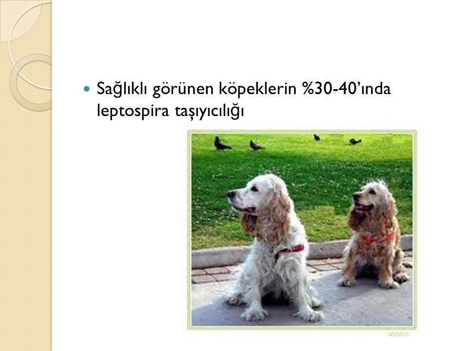 Sağlıklı görünen köpeklerin %30-40'ında leptospira taşıyıcılığı