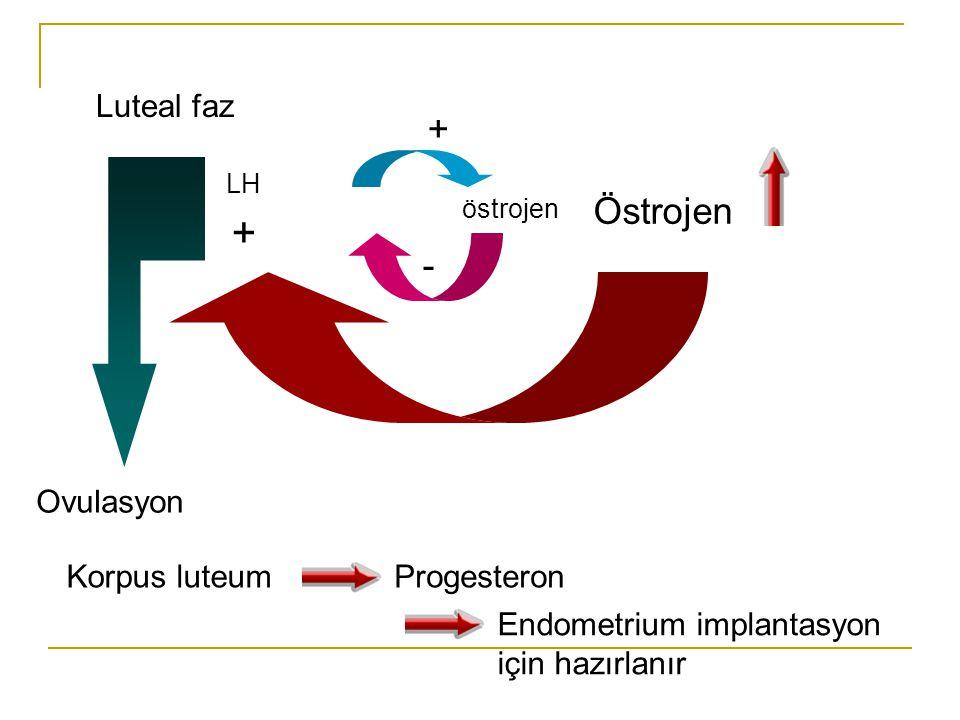 + + Östrojen - Luteal faz Ovulasyon Korpus luteum Progesteron