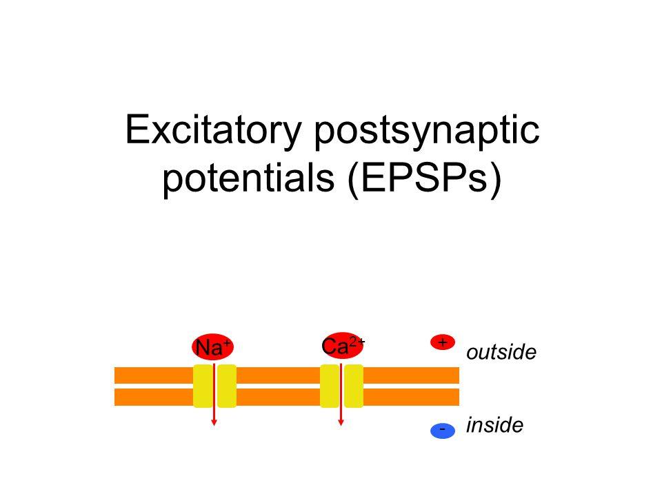 Excitatory postsynaptic potentials (EPSPs)