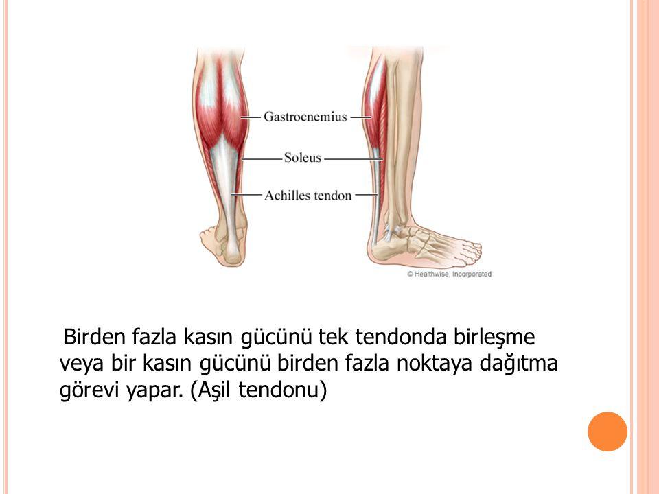 Birden fazla kasın gücünü tek tendonda birleşme veya bir kasın gücünü birden fazla noktaya dağıtma görevi yapar.