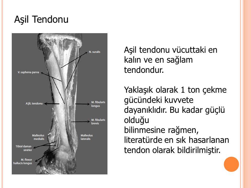 Aşil Tendonu Aşil tendonu vücuttaki en kalın ve en sağlam tendondur.