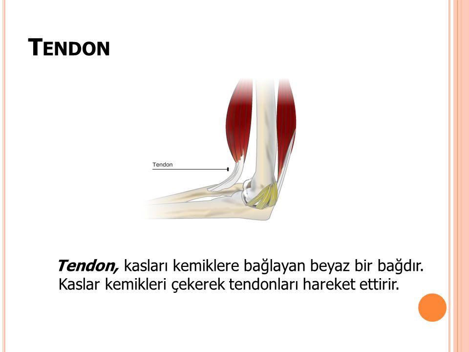 Tendon Tendon, kasları kemiklere bağlayan beyaz bir bağdır.