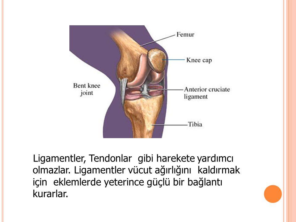 Ligamentler, Tendonlar gibi harekete yardımcı olmazlar