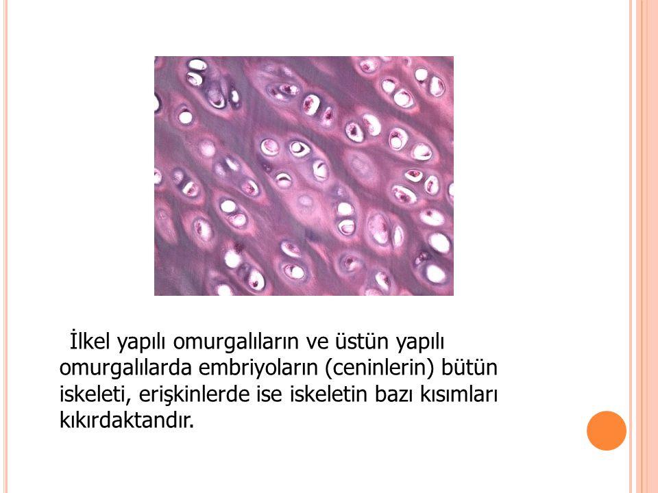 İlkel yapılı omurgalıların ve üstün yapılı omurgalılarda embriyoların (ceninlerin) bütün iskeleti, erişkinlerde ise iskeletin bazı kısımları kıkırdaktandır.