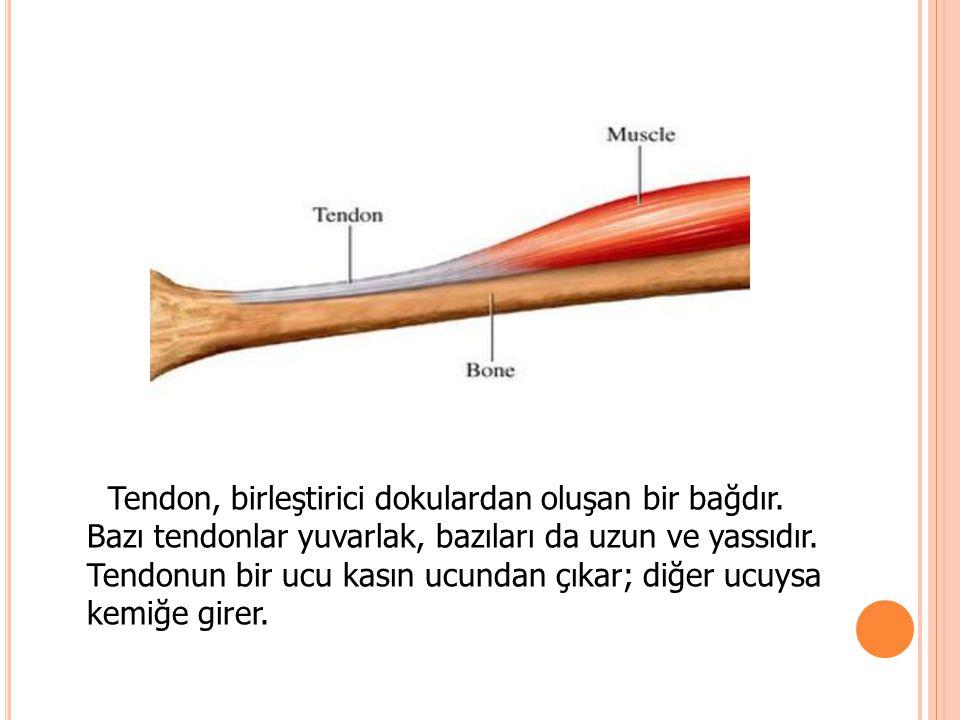 Tendon, birleştirici dokulardan oluşan bir bağdır