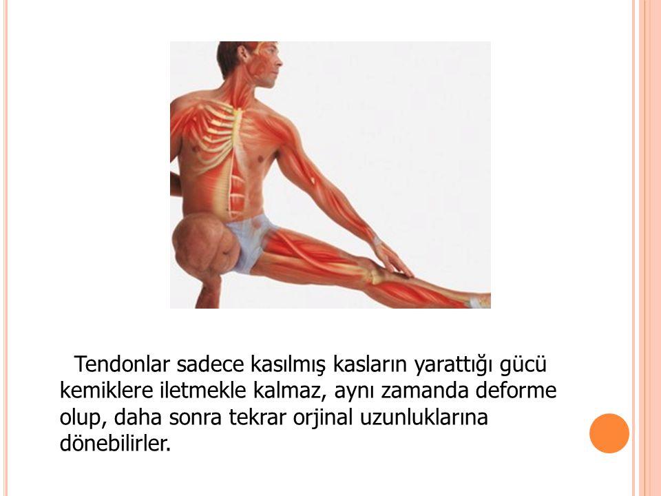 Tendonlar sadece kasılmış kasların yarattığı gücü kemiklere iletmekle kalmaz, aynı zamanda deforme olup, daha sonra tekrar orjinal uzunluklarına dönebilirler.