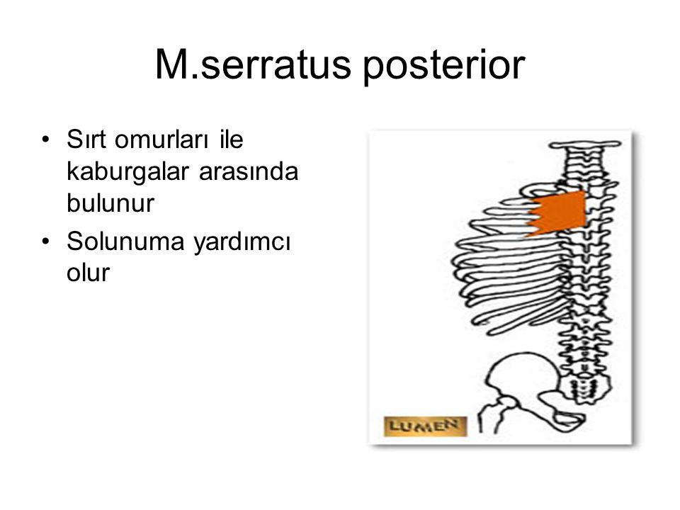 M.serratus posterior Sırt omurları ile kaburgalar arasında bulunur