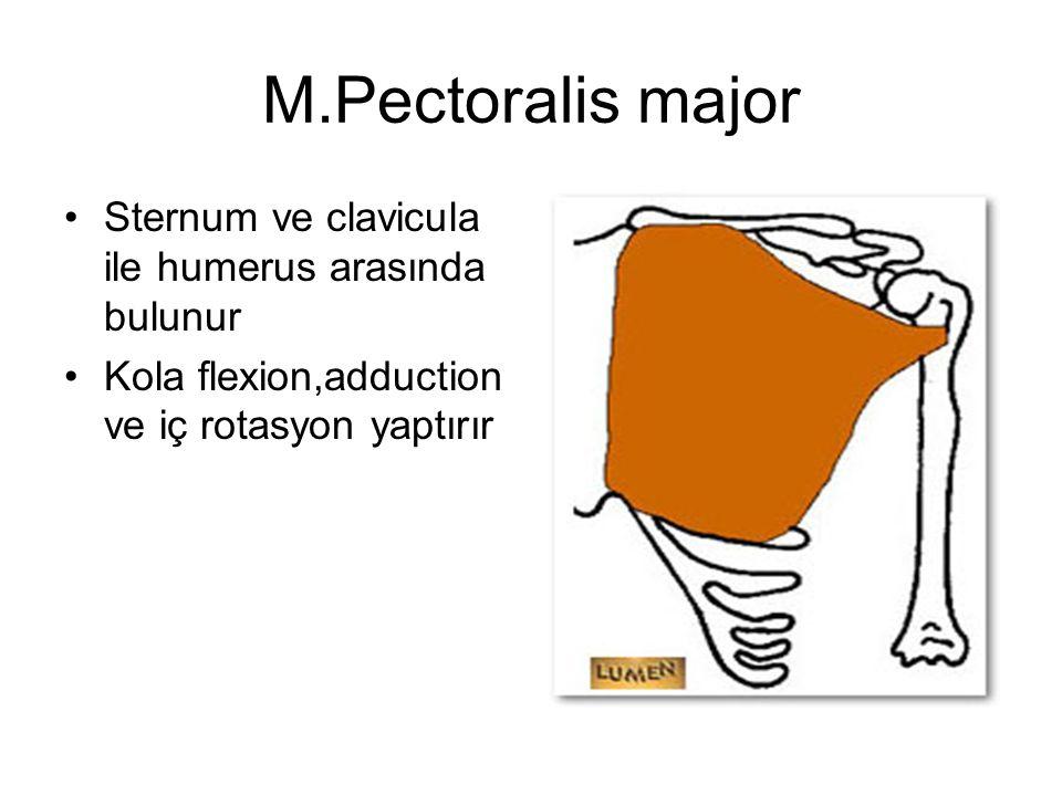 M.Pectoralis major Sternum ve clavicula ile humerus arasında bulunur