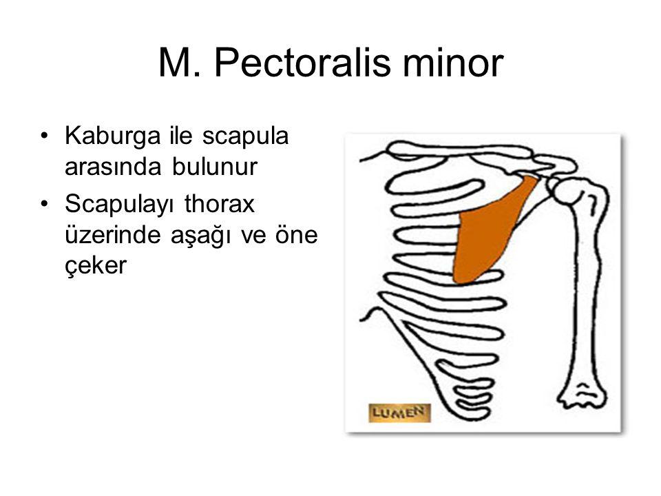 M. Pectoralis minor Kaburga ile scapula arasında bulunur