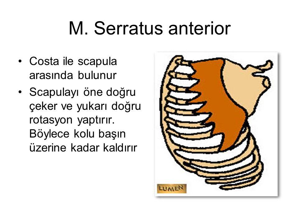 M. Serratus anterior Costa ile scapula arasında bulunur