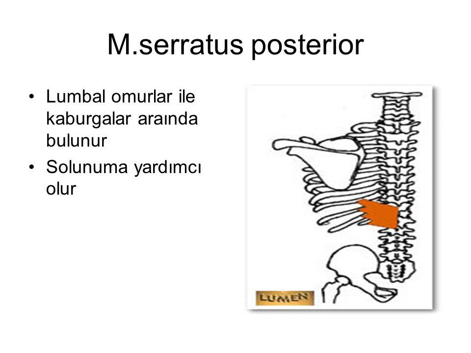 M.serratus posterior Lumbal omurlar ile kaburgalar araında bulunur