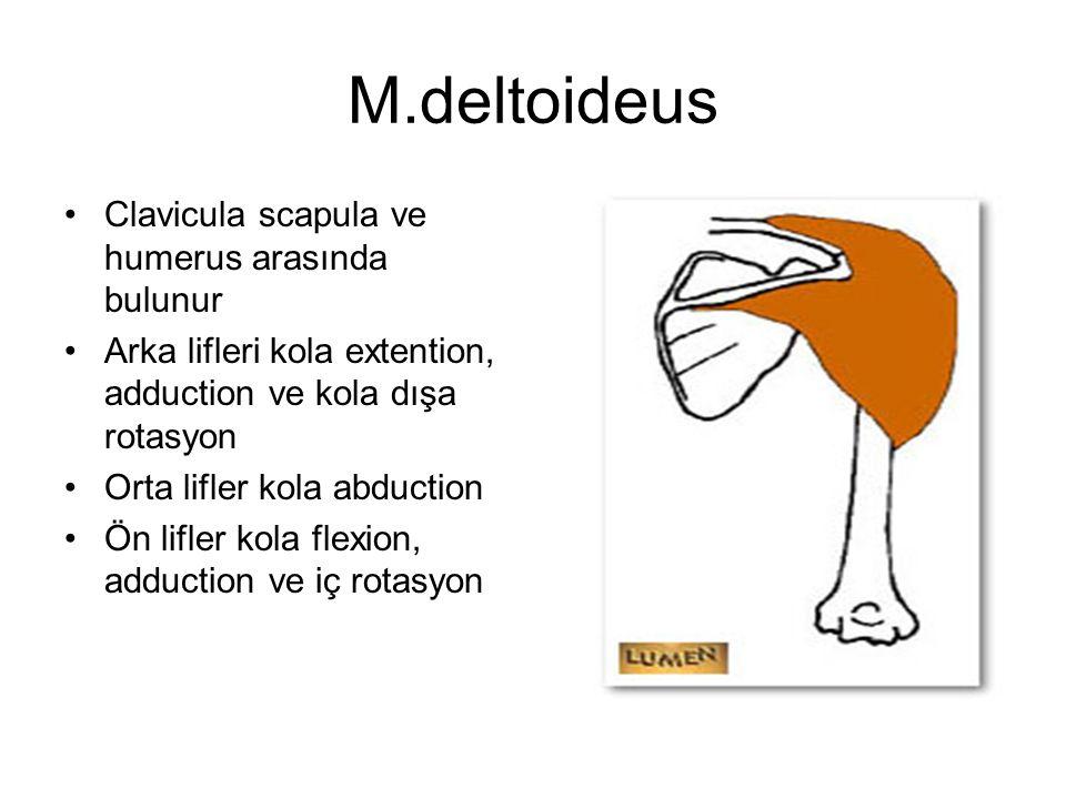 M.deltoideus Clavicula scapula ve humerus arasında bulunur