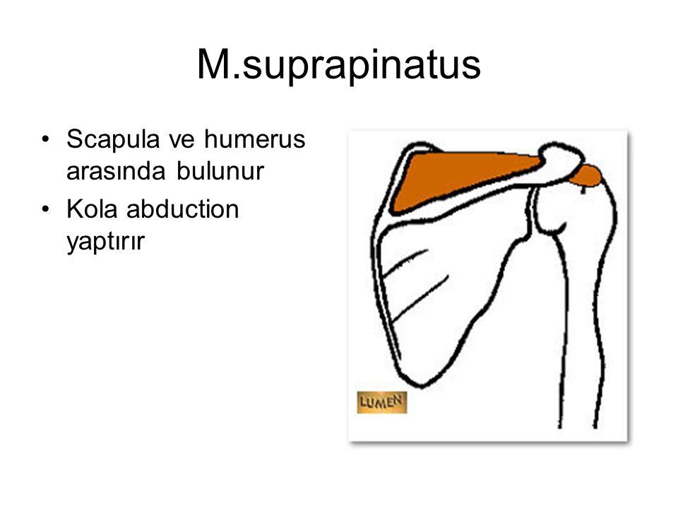 M.suprapinatus Scapula ve humerus arasında bulunur