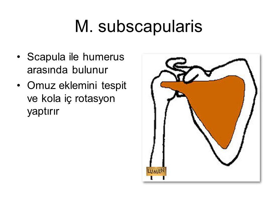 M. subscapularis Scapula ile humerus arasında bulunur