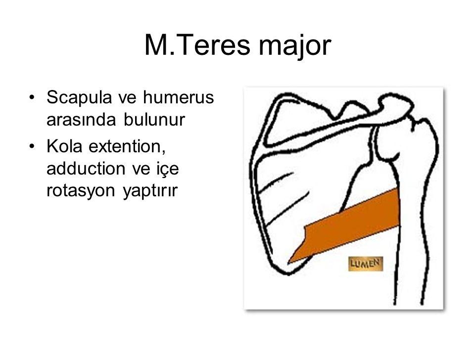 M.Teres major Scapula ve humerus arasında bulunur