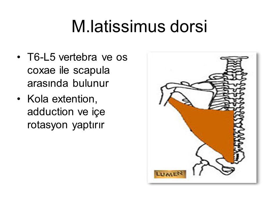 M.latissimus dorsi T6-L5 vertebra ve os coxae ile scapula arasında bulunur.