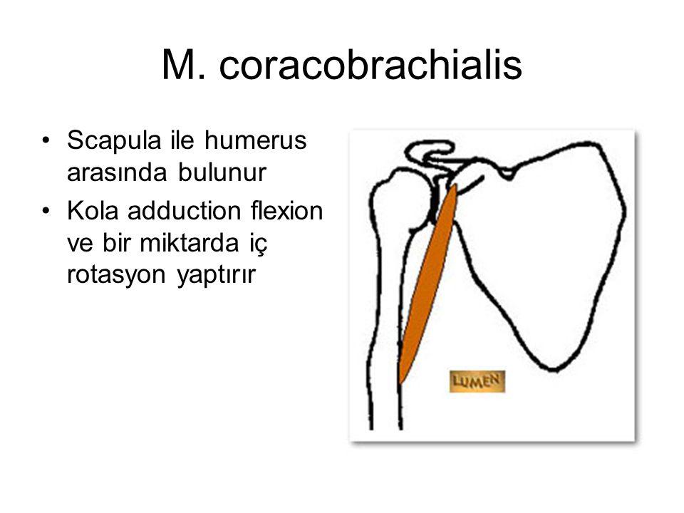 M. coracobrachialis Scapula ile humerus arasında bulunur