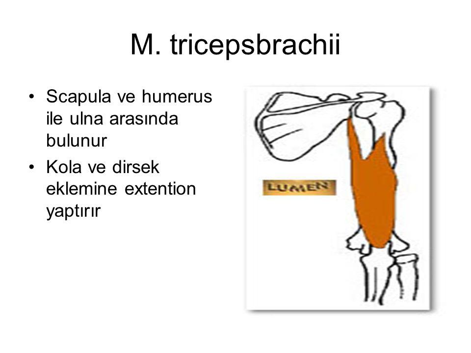M. tricepsbrachii Scapula ve humerus ile ulna arasında bulunur
