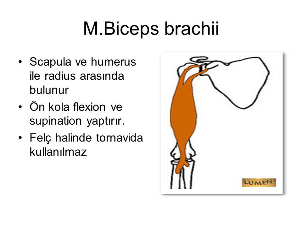 M.Biceps brachii Scapula ve humerus ile radius arasında bulunur