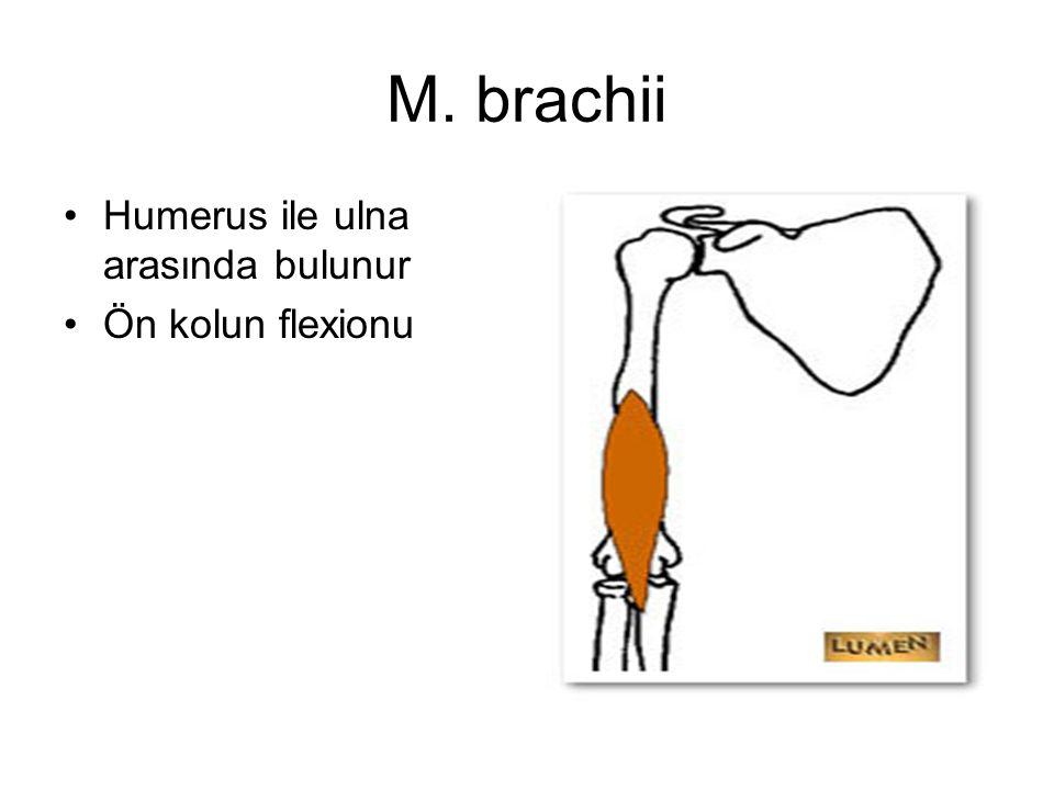 M. brachii Humerus ile ulna arasında bulunur Ön kolun flexionu