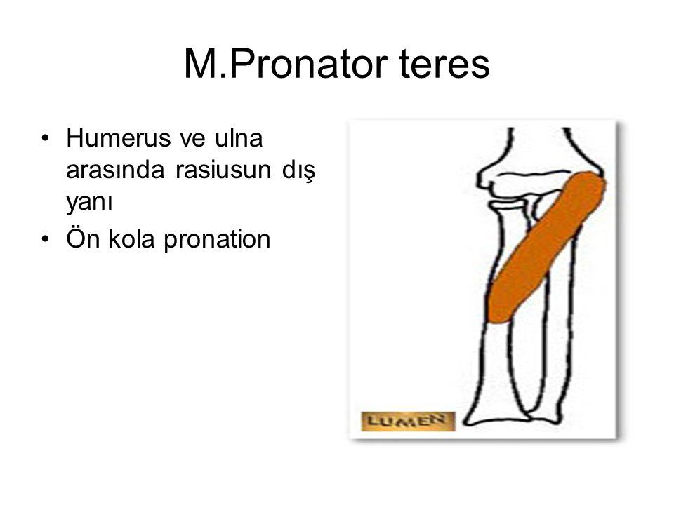 M.Pronator teres Humerus ve ulna arasında rasiusun dış yanı