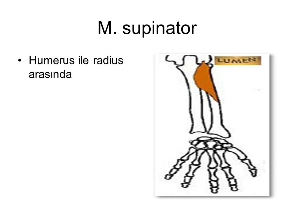 M. supinator Humerus ile radius arasında