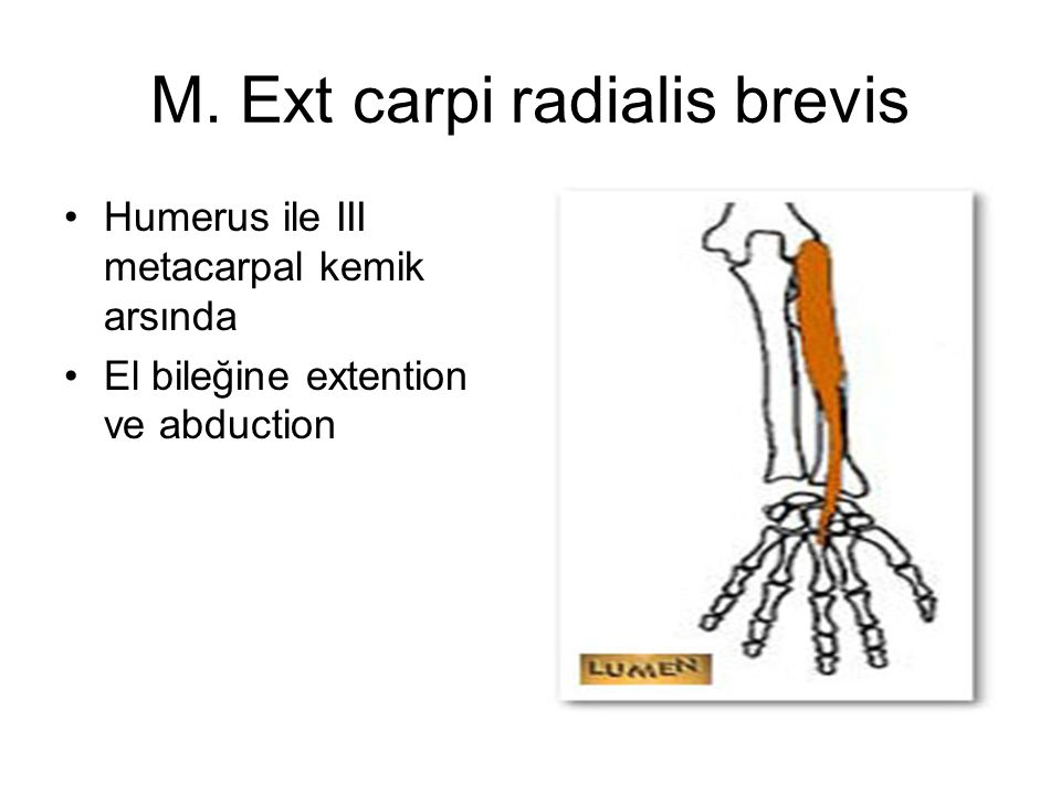M. Ext carpi radialis brevis