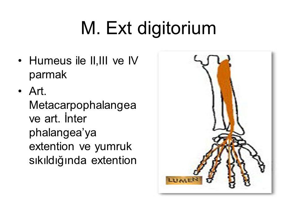 M. Ext digitorium Humeus ile II,III ve IV parmak