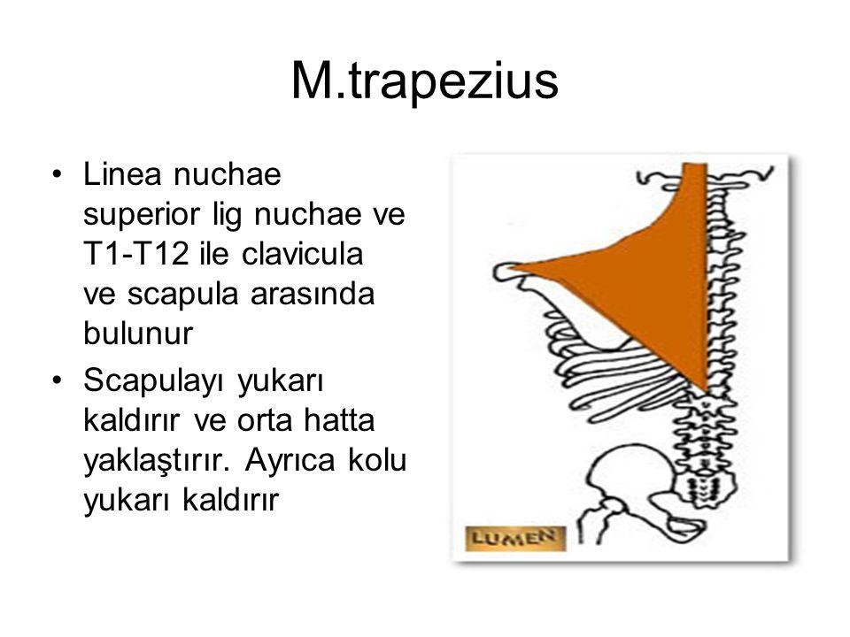 M.trapezius Linea nuchae superior lig nuchae ve T1-T12 ile clavicula ve scapula arasında bulunur.