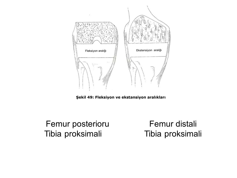 Femur posterioru Tibia proksimali Femur distali Tibia proksimali