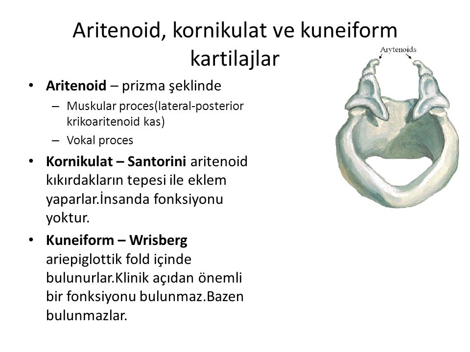 Aritenoid, kornikulat ve kuneiform kartilajlar